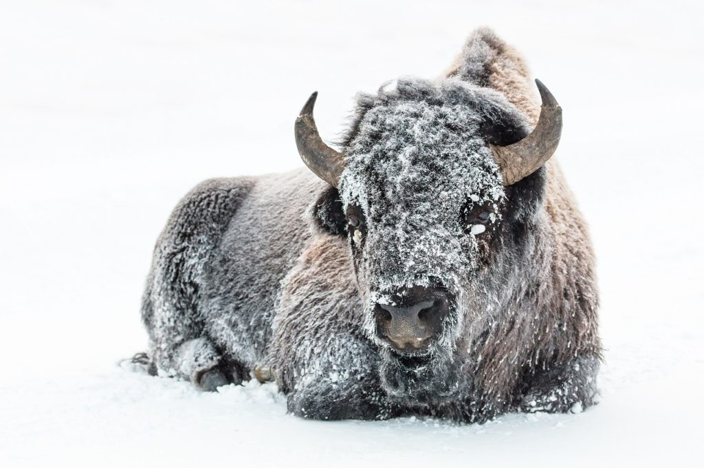 Wyoming Bison in Snow
